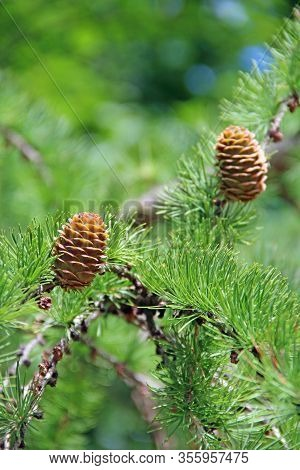 Pine Cones On Branches. Brown Pine Cone Of Pine Tree. Growing Cones Close Up. Larch Cones Growing In