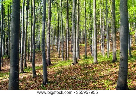 Springtime View From European Beech Wood Springy Woodland