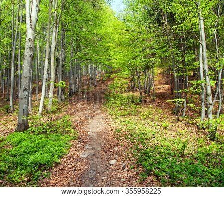 Springy View From European Beech Wood With Pathway, Springtime Woodland