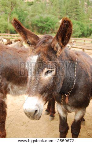 Donkey/Burro