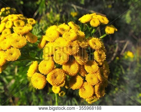 Tanacetum Vulgare Also Known As Common Tansy, Bitter Buttons, Cow Bitter, Or Golden Button, Close Up