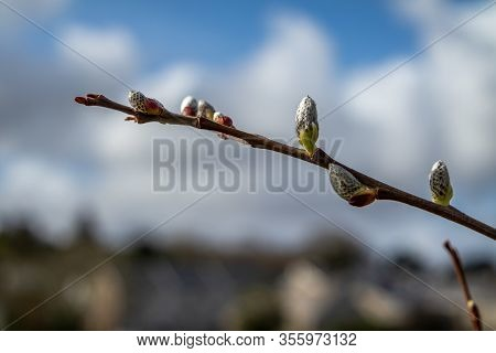 Pussy Willow In Ardara Town During The Corona Outbreak
