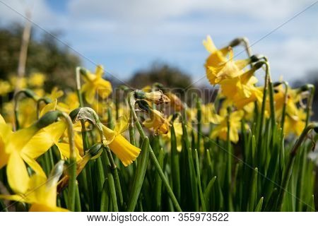 Ardara Town Narcissi In Bloom During The Corona Outbreak