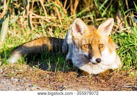 Alberese (gr), Italy, Fox Close Up In The Maremma Country In Tuscany, Italy
