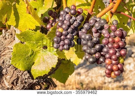 Bunches Of Ripe Pinot Noir Grapes On Vine In Organic Vineyard