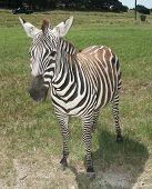 a grant's zebra. poster