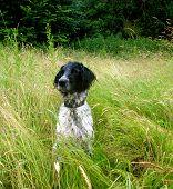 Portrait of Munsterlander Breed Hunting Dog Sitting in Lush Field poster