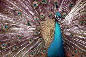 A male peacock spreads its feathers in a mating display for a female peacock poster