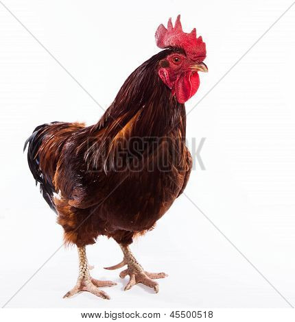 Colorful Rooster Isolated On White