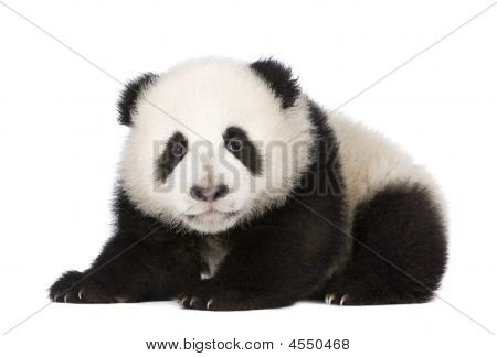 Giant Panda (4 months) - Ailuropoda melanoleuca in front of a white background poster