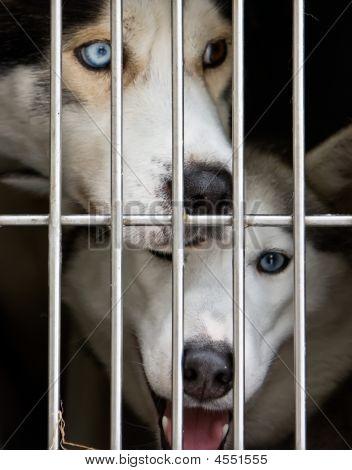Foto des ein husky Hunde gerade durch die Tür cage