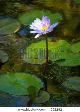 Purple Waterlily