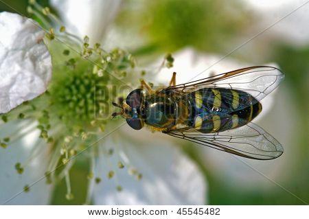 Fly Diptera Syrphidae Volucella