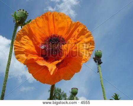 Bold Poppy