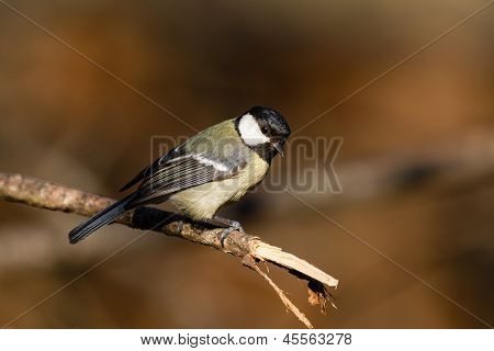 Great Tit on a branch
