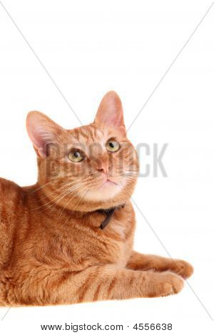 Red Cat Looking Up Isolated Over White Background
