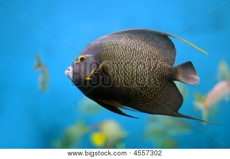 Closeup of a French Angelfish (Pomacanthus paru) poster