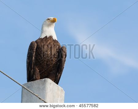 Bald Eagle The Lord Of The Realm