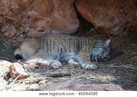 Bobcat sleeping in den