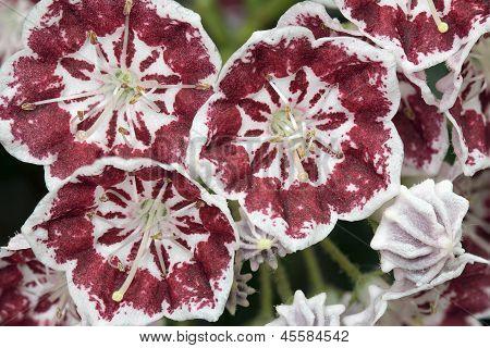 Mountain Laurel Flowers Minuet Macro
