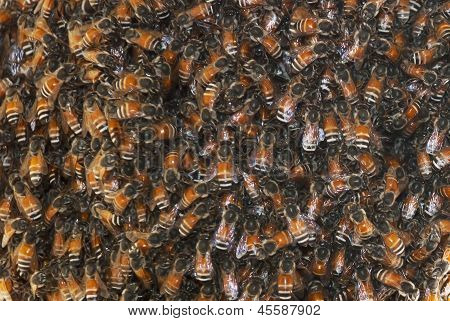 Close Up Working Bees