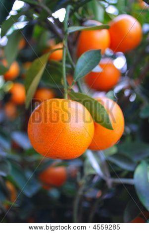 Chinese Mandarin Oranges