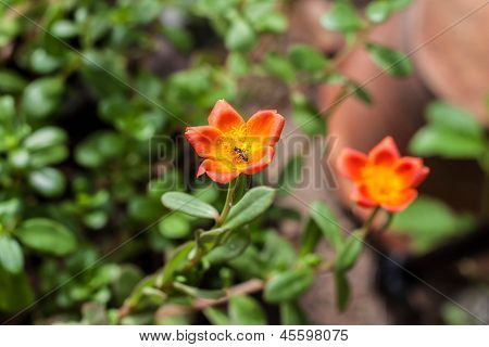 Closeup Orange Portulaca Flower In The Garden