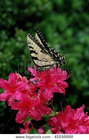 EasternTiger Swallowtail on Azalia