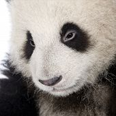 Giant Panda (6 months) - Ailuropoda melanoleuca in front of a white background poster