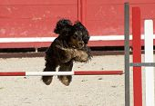 purebred cocker spaniel in a competition of agility poster