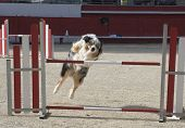 purebred australian shepherd in a competition of agility poster