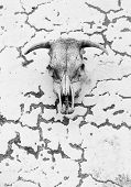 a skull of an ox used as protection against evil eye poster