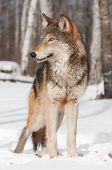 Grey Wolf (Canis lupus) Stands in Treeline Looking Left - captive animal poster