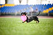 funny dachshund dog brings the flying disc in jump poster