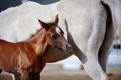 Foal with a mare. Portrait of a brown foal. Muzzle of a foal. Brown foal. Small horse. Foal with an asterisk on a forehead. poster