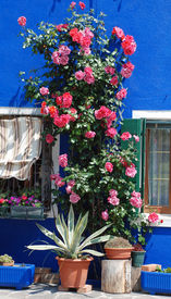Roses On Burano