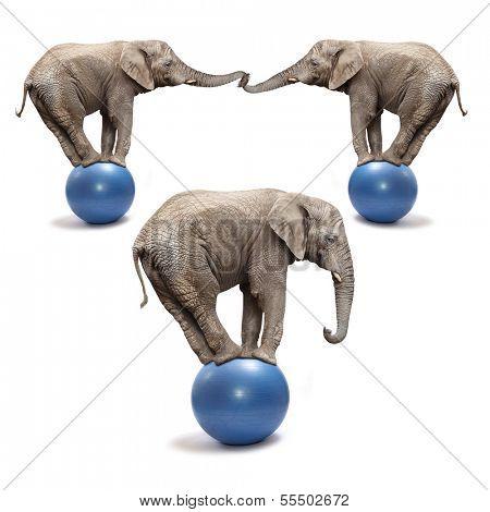 African elephants (Loxodonta africana) balancing on a blue balls. poster