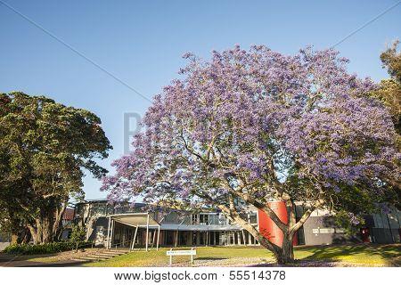Purple jacaranda tree in front of church