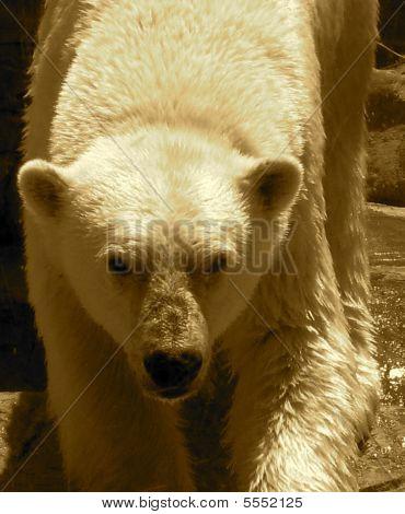 Ambling Polar Bear Close-up