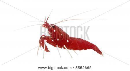 Fire Shrimp - Lysmata Debelius