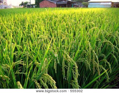 Rice Field In Taiwan