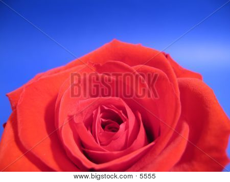 A Closeup Of A Red Rose.