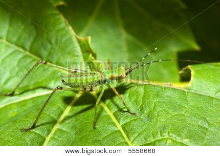 Bush Cricket (tettigoniidae)