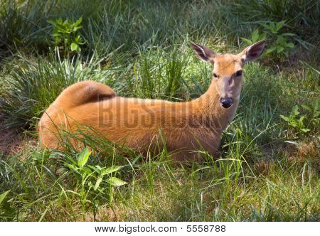 Outdoor Wildlife White Tail Deer Laying in grass Field with ears up poster