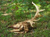 Deer skull taken in Stillwater OK on April 17 2006 poster