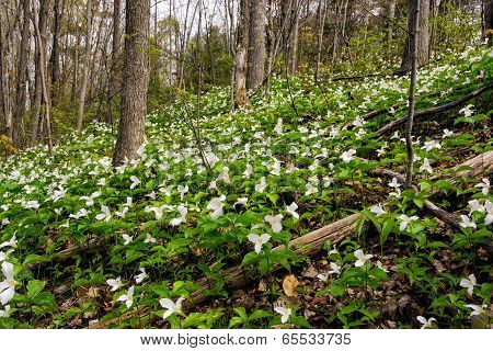 Trillium Bed Growing On A Forested Hillside