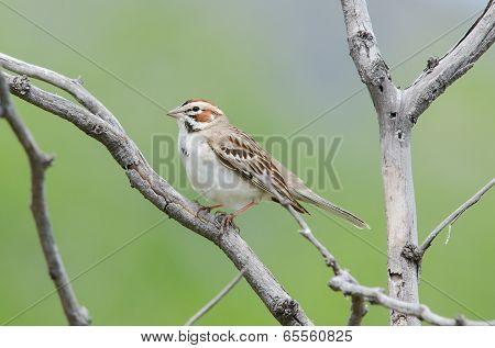 Lark Sparrow On Branch