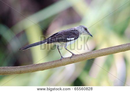 Northern Mockingbird On Branch