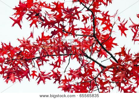 Red Fall Leaves On White Background