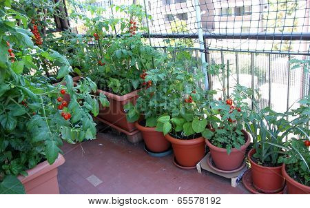 Growing Tomatoes On The Terrace Of The Apartment Building